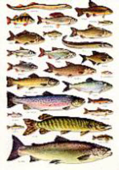 River fresh water fishes chart eurographics freshwater fish 1000 books on british freshwater fish british freshwater fishes charts sciox Choice Image
