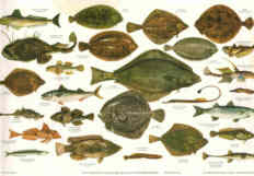 BRITISH SEA FISHES 1