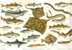 BRITISH SEA FISHES 2