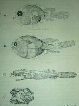 The Ceratioid Fishes