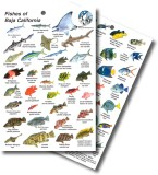 Guide to Fishes of Baja California