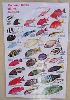 Guide to THE Reef fish of the Red Sea
